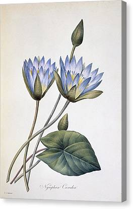 Nymphaea Caerula, 19th Century Canvas Print by Science Photo Library