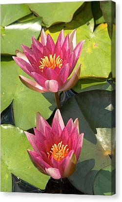 Nymphaea 'weymouth Red' Canvas Print by Adrian Thomas