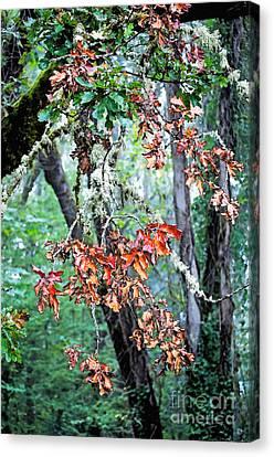 Oak Stories Canvas Print by Gwyn Newcombe