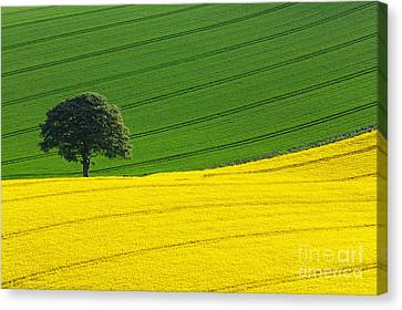 Oak Tree Split Canvas Print by Richard Thomas