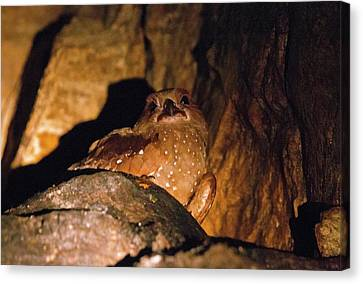 Oilbird Roosting Canvas Print by Bob Gibbons