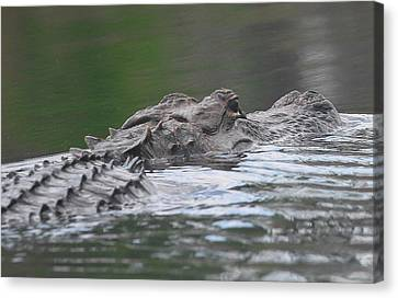 Okefenokee Gator 2 Canvas Print by Cathy Lindsey