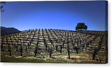 Old Vines Panorama Canvas Print by Karen Stephenson