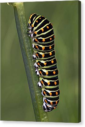 Oldworld Swallowtail Butterfly Canvas Print by Frans Hodzelmans