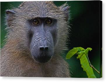 Olive Baboon Canvas Print by Stefan Carpenter