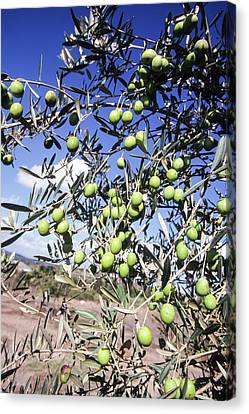 Olive Tree Canvas Print by Photostock-israel