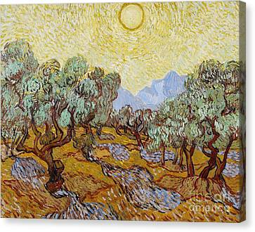 Olive Trees Canvas Print by Vincent Van Gogh