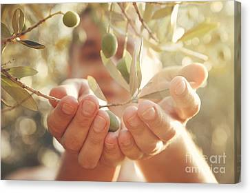 Olives Harvest Canvas Print by Mythja  Photography
