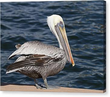 On The Edge - Brown Pelican Canvas Print by Kim Hojnacki