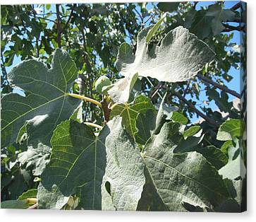 One Fantastic Fig Canvas Print by Esther Newman-Cohen