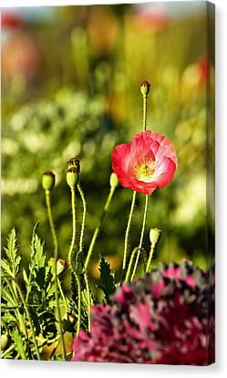 Opium Poppy Canvas Print by Suradej Chuephanich