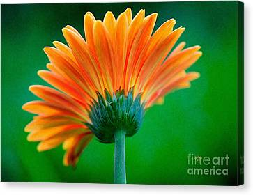 Orange Blast Canvas Print by Lois Bryan