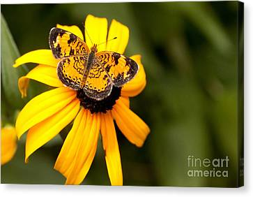 Orange Butterfly Canvas Print by Lena Auxier
