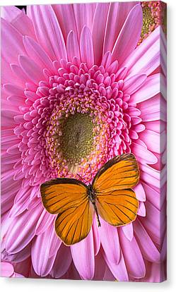 Orange Butterfly On Pink Daisy Canvas Print by Garry Gay