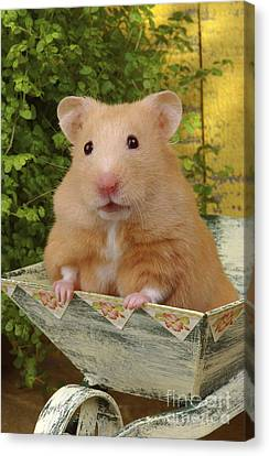 Orange Hamster Ha106 Canvas Print by Greg Cuddiford