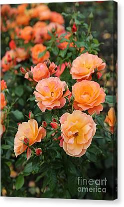 Orange Roses Canvas Print by Carol Groenen