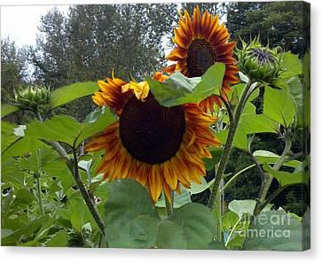 Orange Sunflowers Canvas Print by Polly Anna