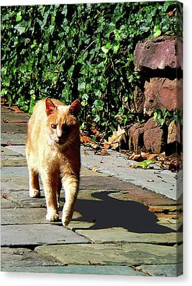 Orange Tabby Taking A Walk Canvas Print by Susan Savad