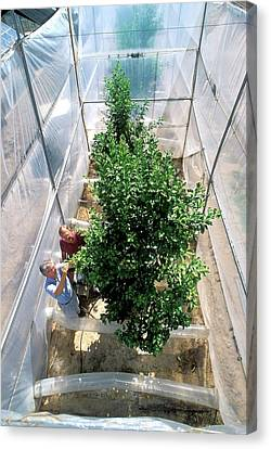 Orange Tree Growth Research Canvas Print by Jack Dykinga/us Department Of Agriculture