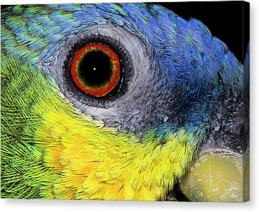 Orange-winged Amazon Parrot Canvas Print by Nigel Downer