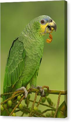 Orange-winged Parrot Amazonian Ecuador Canvas Print by Pete Oxford