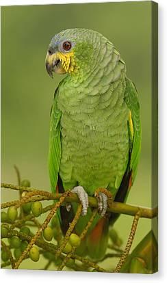 Orange-winged Parrot Ecuador Canvas Print by Pete Oxford