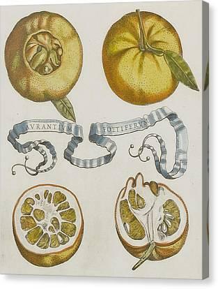 Oranges Canvas Print by Cornelis Bloemaert
