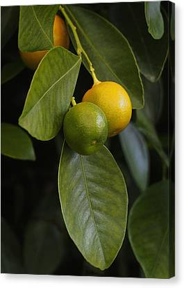 Oranges Ripening On The Tree Canvas Print by Rona Black