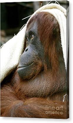 Orangutan Canvas Print by Louise Fahy