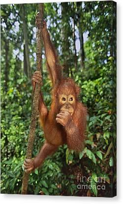 Orangutan  Canvas Print by Frans Lanting MINT Images