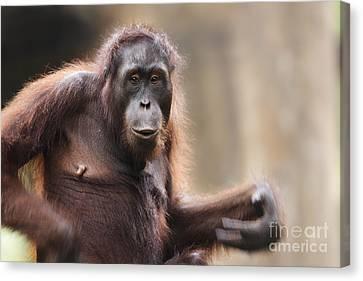 Orangutan Canvas Print by Richard Garvey-Williams