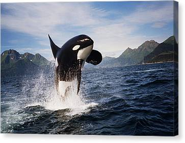 Orca Breach Canvas Print by Richard Johnson