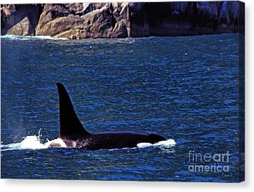 Orca Surfacing Canvas Print by Thomas R Fletcher