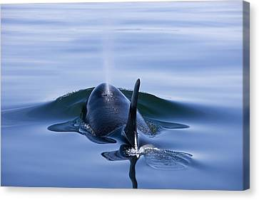 Orca Whale Surfaces In Lynn Canal Canvas Print by John Hyde