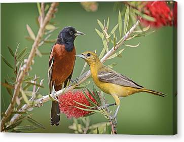 Orchard Oriole Pair Canvas Print by Bonnie Barry