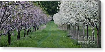 Orchard Canvas Print by Timothy J Berndt