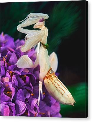 Orchid Female Mantis  Hymenopus Coronatus  9 Of 10 Canvas Print by Leslie Crotty