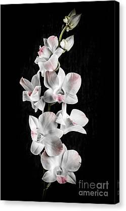 Orchid Flowers On Black Canvas Print by Elena Elisseeva