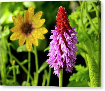 Orchid Primrose (primula Vialii) Flowers Canvas Print by Ian Gowland