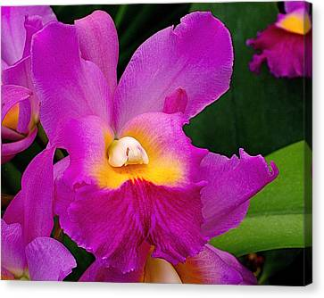 Orchid Variations 1 Canvas Print by Rona Black