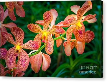 Orchids Canvas Print by Inge Johnsson