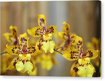 Orchids - Us Botanic Garden - 011345 Canvas Print by DC Photographer