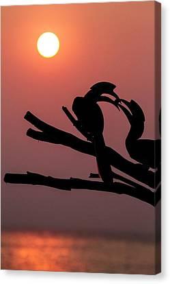 Oriental Pied Hornbills Canvas Print by Paul Williams
