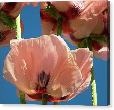 Oriental Poppies (orientale Papaver) Canvas Print by Ian Gowland