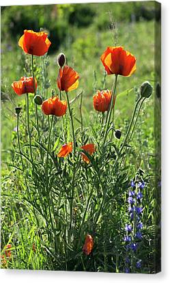 Oriental Poppies (papaver Orientale) Canvas Print by Bob Gibbons