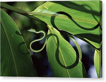 Oriental Whip Snake Ahaetulla Prasina Canvas Print by Michael and Patricia Fogden