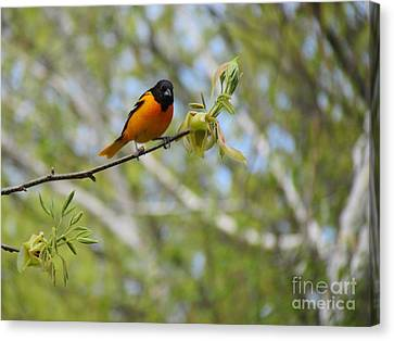 Oriole Canvas Print by Randi Shenkman