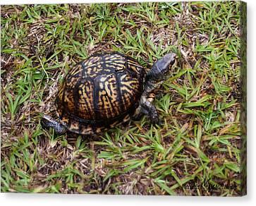 Box Turtle Canvas Print by Mechala  Matthews