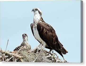 Osprey And Chick Canvas Print by Bob Gibbons