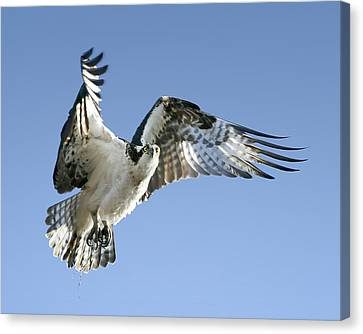 Osprey Carrying Twig Canvas Print by Barbara Smith